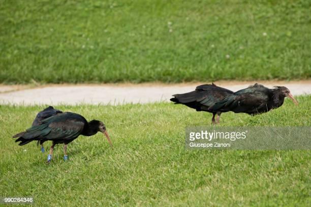 northern bald ibis, hermit ibis - orbetello imagens e fotografias de stock