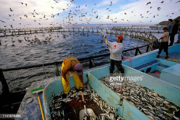 Northern Bluefin tuna aquaculture Thunnus thynnus Mexico Pacific Ocean