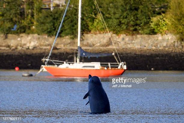 Northern Bottlenose whale breaches after boats attempted to herd them from the Gare Loch into the open sea ahead of a military exercise starting in...