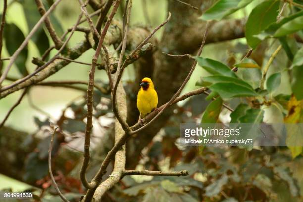 northern brown-throated weaver (ploceus castanops) - michele weaver stock pictures, royalty-free photos & images