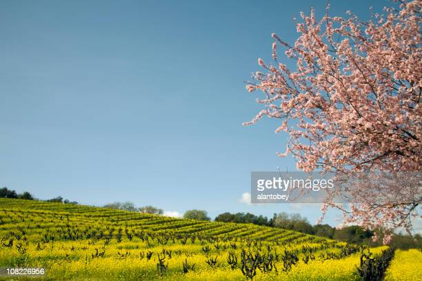 Northern California Vineyard with Blossoming Cherry Tree