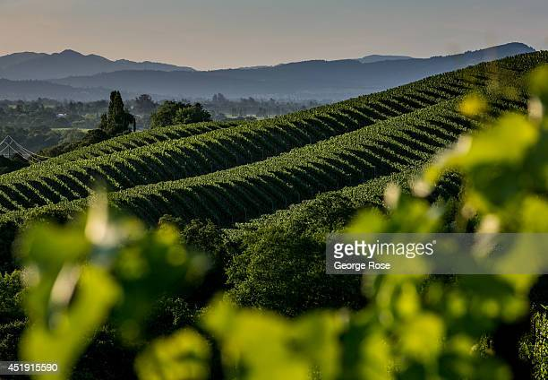 Northern California's Wine Country appears to be headed for another large vintage despite the current drought conditions on June 16 in Healdsburg...
