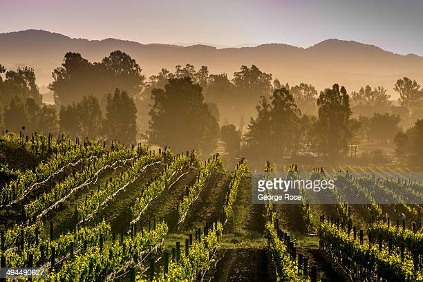 Northern California's Wine Country appears to be headed for another large vintage despite the current drought conditions on May 7 in Sonoma...
