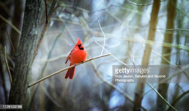 northern cardinal against blue forest scene at central park, new york - blue cardinal bird stock pictures, royalty-free photos & images