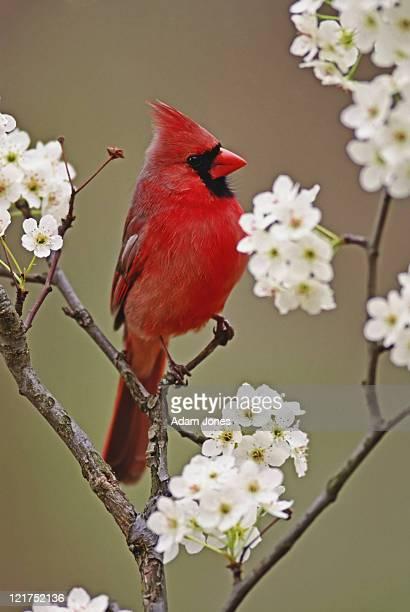 northern cardinal, cardinalis cardinalis, male among blossoms of pear tree, kentucky, usa - cardinal bird stock pictures, royalty-free photos & images