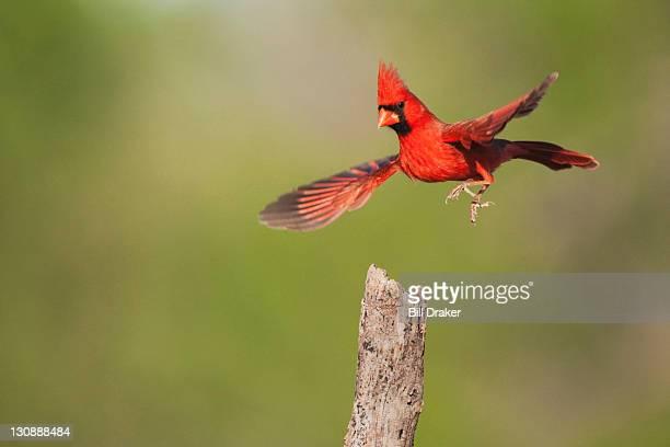 northern cardinal (cardinalis cardinalis), male landing, sinton, corpus christi, coastal bend, texas, usa - cardinal bird stock photos and pictures