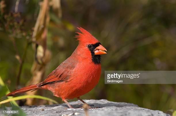 northern cardinal - male - cardinal bird stock photos and pictures
