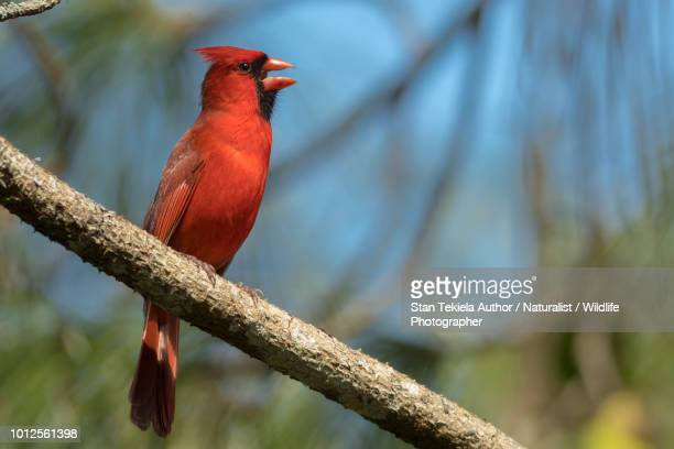 northern cardinal male singing song - cardinal bird stock photos and pictures