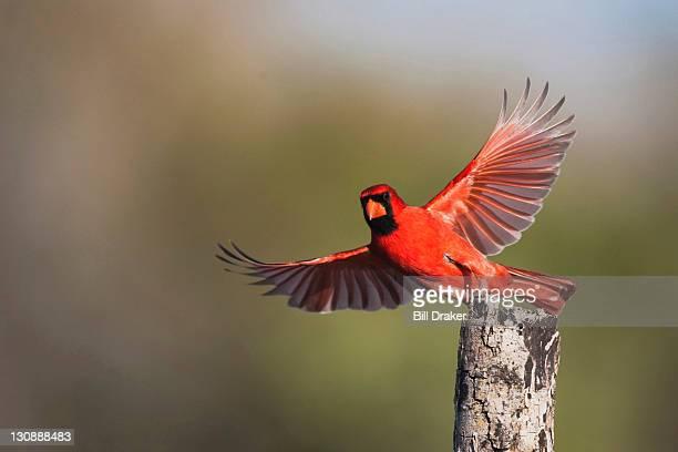 Northern Cardinal (Cardinalis cardinalis), male taking off, Sinton, Corpus Christi, Coastal Bend, Texas, USA