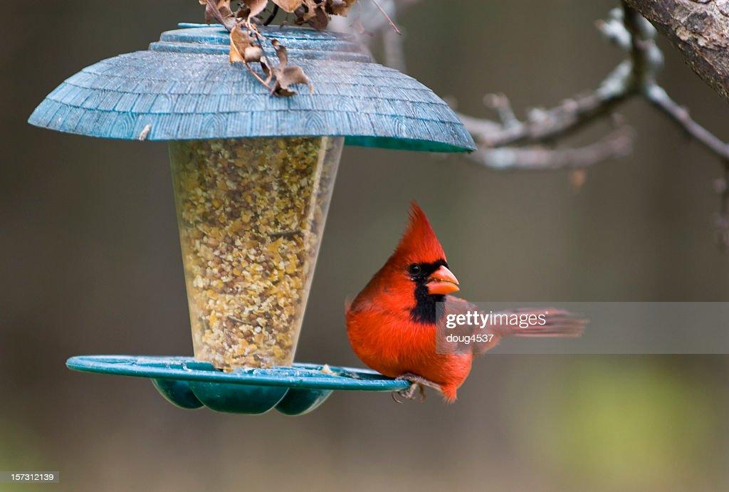 Northern Cardinal On Birdfeeder