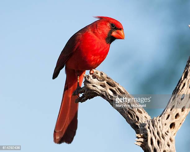 northern cardinal on branch in madera canyon, arizona - cardinal bird stock photos and pictures