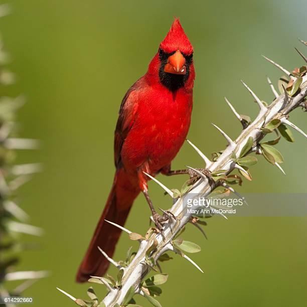 northern cardinal on branch in madera canyon, arizona - arizona bird stock pictures, royalty-free photos & images