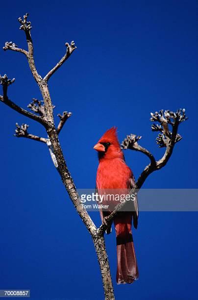 northern cardinal (cardinalis cardinalis) on tree branch - blue cardinal bird stock pictures, royalty-free photos & images