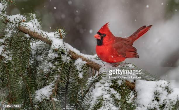 northern cardinal on tree branch with snow during winter - cardinal bird stock pictures, royalty-free photos & images