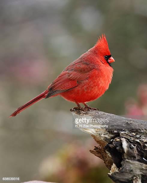 northern cardinal perched on log - cardinal bird stock photos and pictures