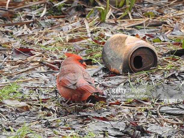 northern cardinal perching by old can on field - solomon turkel stock pictures, royalty-free photos & images