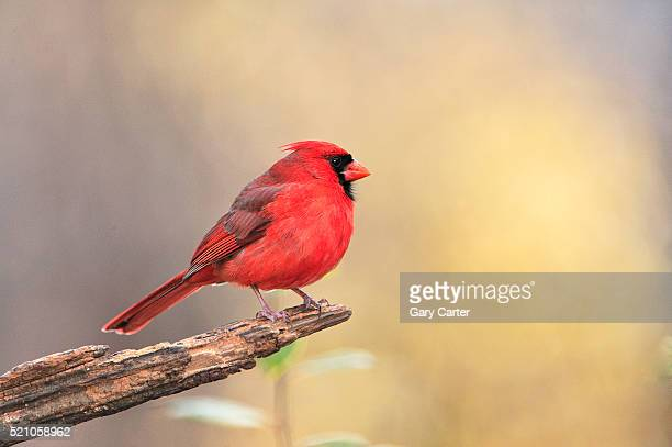 northern cardinal perching on branch - cardinal bird stock pictures, royalty-free photos & images
