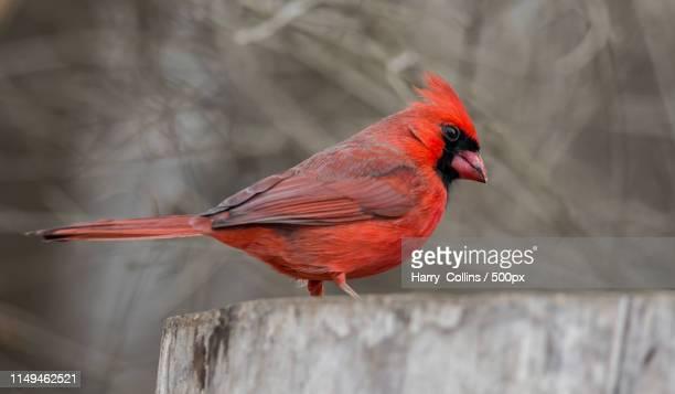 northern cardinal - blue cardinal bird stock pictures, royalty-free photos & images