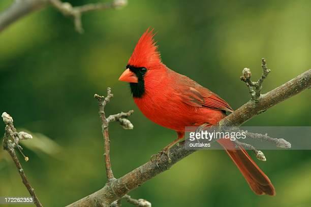 Cardinal Bird Stock Photos And Pictures