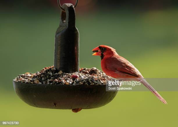 northern cardinal - house finch stock pictures, royalty-free photos & images