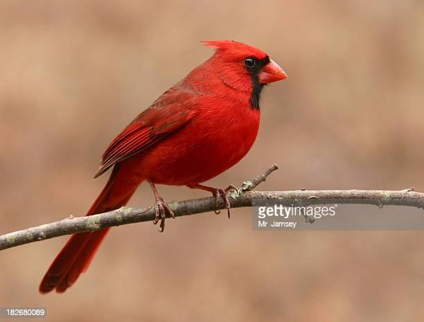 Northern Cardinal Profile