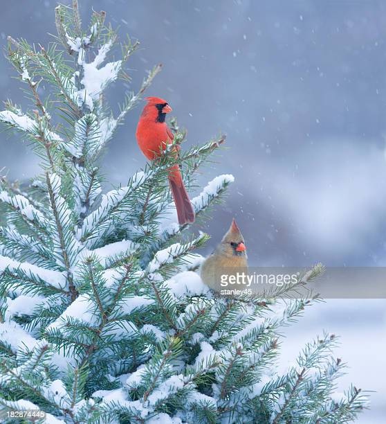 northern cardinals perched in a snow covered pine tree - bird stock pictures, royalty-free photos & images
