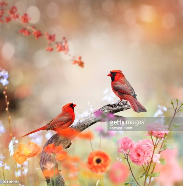 northern cardinals - svetlana stock photos and pictures