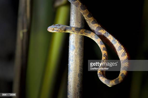 northern cat-eyed snake (leptodeira septentrionalis), puntarenas province, costa rica - cat snake stock photos and pictures