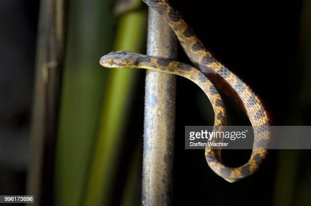 Northern Cat-eyed Snake (Leptodeira septentrionalis), Puntarenas Province, Costa Rica
