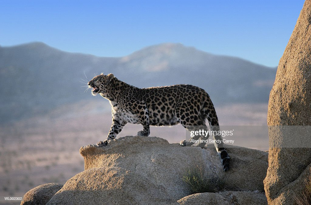 Northern Chinese leopard (Panthera pardus japonensis) standing on rock : Stock Photo