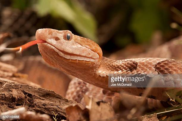 northern copperhead, agkistrodon contortrix, controlled situation, face details, pa, usa. - copperhead snake stock pictures, royalty-free photos & images
