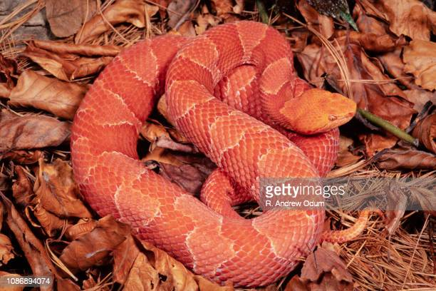 northern copperhead - albino - copperhead snake stock pictures, royalty-free photos & images