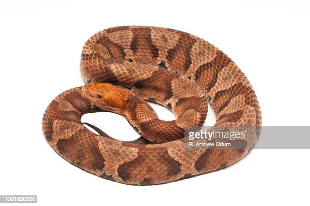 northern copperhead - copperhead snake stock pictures, royalty-free photos & images