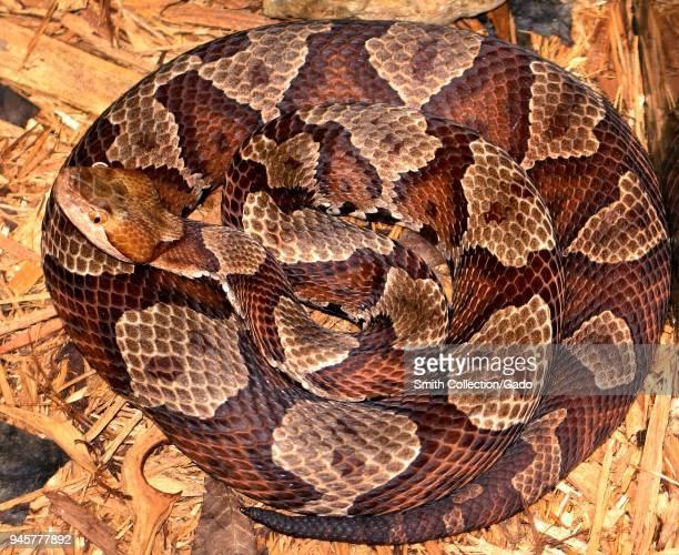 Northern copperhead snake 2005 Image courtesy Centers for Disease Control / Edward J Wozniak