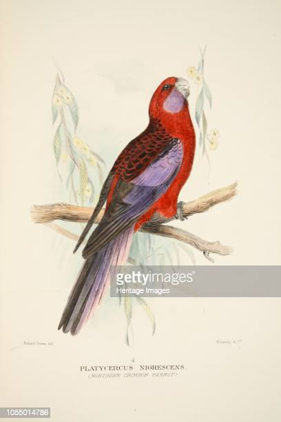 Northern Crimson Parrot from The Birds of Australia pub 1916 Platycercus Nigrescens Artist Roland Green