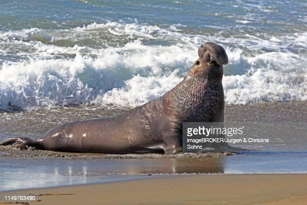 northern elephant seal (mirounga angustirostris), adult male in wave seam on the beach, piedras blancas rookery, san simeon, san luis obispo county, california, usa - elefante marinho imagens e fotografias de stock