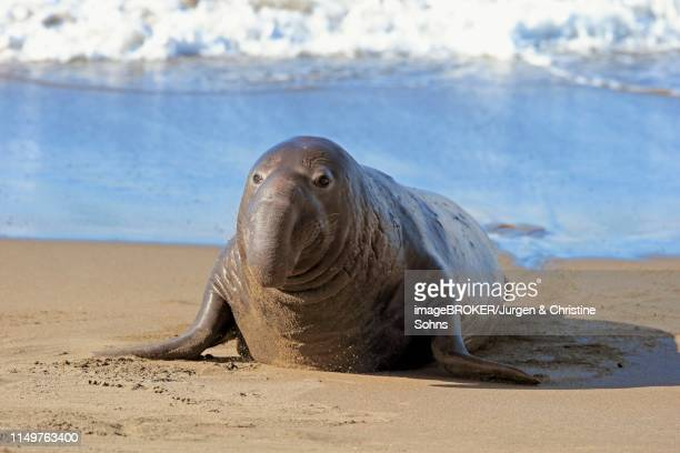 Northern Elephant Seal (Mirounga angustirostris), adult male on the beach, Piedras Blancas Rookery, San Simeon, San Luis Obispo County, California, USA