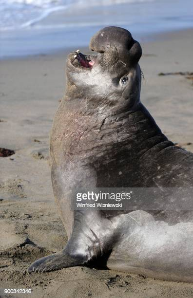 Northern Elephant Seal (Mirounga angustirostris), calling, Beach of San Simeon, Piedras Blancas Colony, California, USA