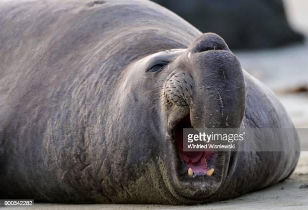 Northern Elephant Seal (Mirounga angustirostris), calling, Portrait, Beach of San Simeon, Piedras Blancas Colony, California, USA