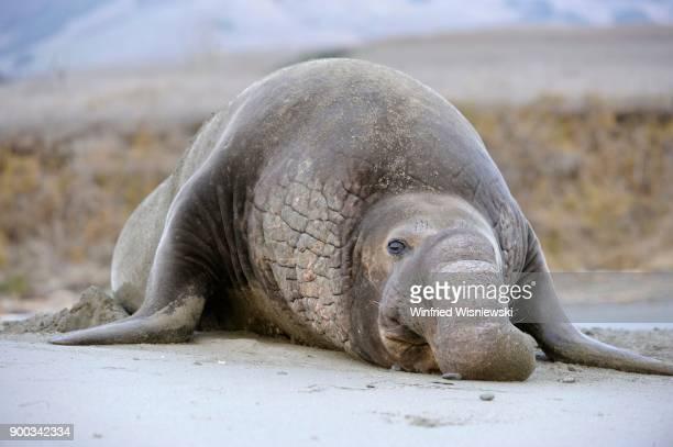 Northern Elephant Seal (Mirounga angustirostris), located on the beach of San Simeon, Piedras Blancas Colony, California, USA