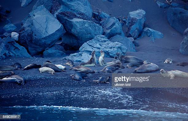 Northern elephant seal, Mirounga angustirostris, Mexico, Pacific ocean, Guadalupe