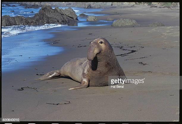northern elephant seal - elefante marinho imagens e fotografias de stock