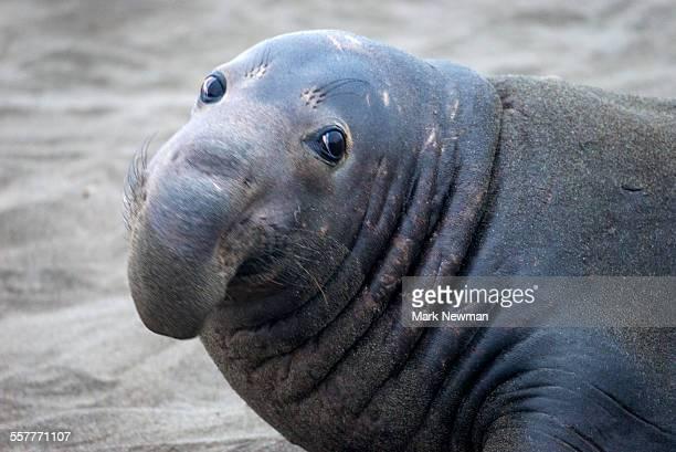 Northern elephant seal