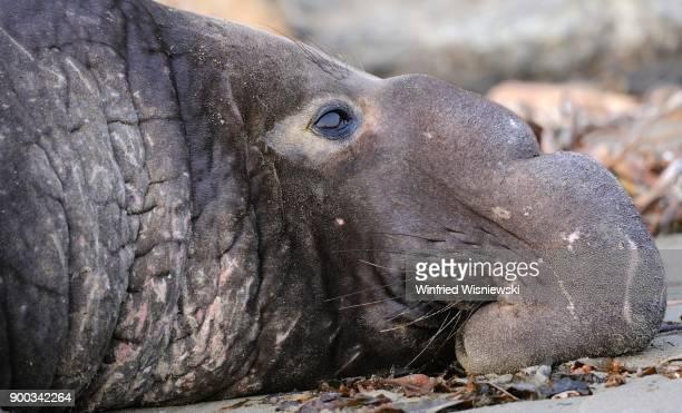 Northern Elephant Seal (Mirounga angustirostris), Portrait, Beach of San Simeon, Piedras Blancas Colony, California, USA