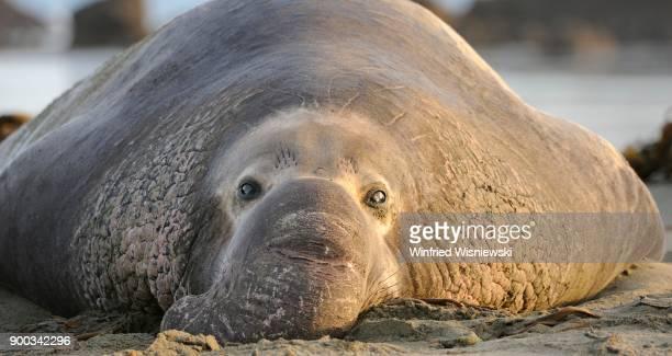 Northern Elephant Seal (Mirounga angustirostris), Portrait, located on the beach of San Simeon, Piedras Blancas Colony, California, USA