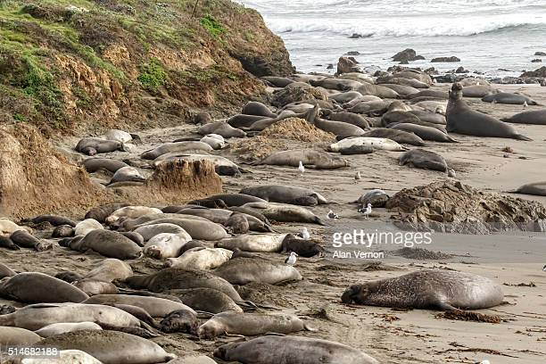 Northern Elephant seal rookery