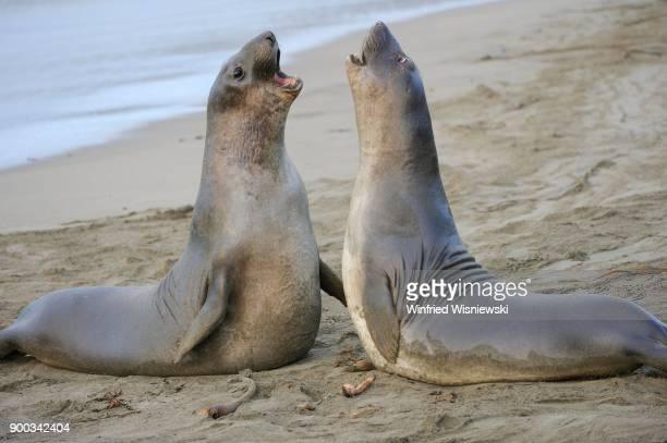 Northern Elephant Seal (Mirounga angustirostris), two young bulls fighting on the beach of San Simeon, Piedras Blancas colony, California, USA
