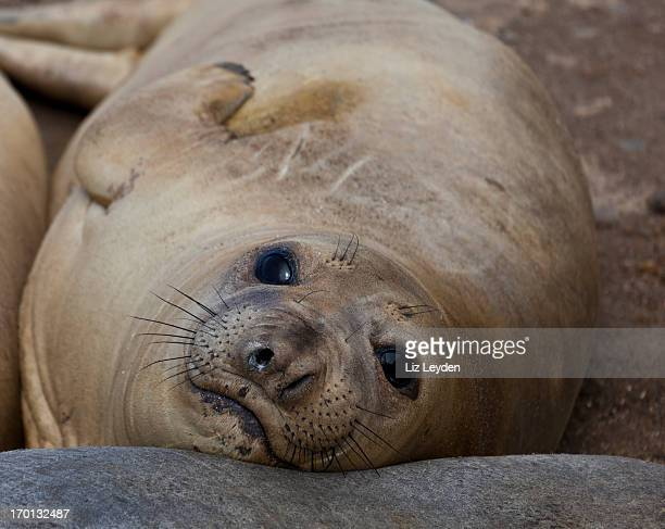 Northern Elephant Seal weaner (Mirounga angustirostris)