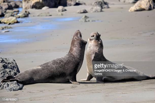northern elephant seals (mirounga angustirostris), adult two males fighting on the beach, threatening, piedras blancas rookery, san simeon, san luis obispo county, california, usa - military attack stock pictures, royalty-free photos & images