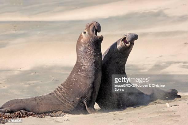 northern elephant seals (mirounga angustirostris), adult two males fighting on the beach, threatening, piedras blancas rookery, san simeon, san luis obispo county, california, usa - elefante marinho imagens e fotografias de stock